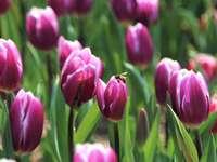 rózsaszín tulipánok virágoznak nappal
