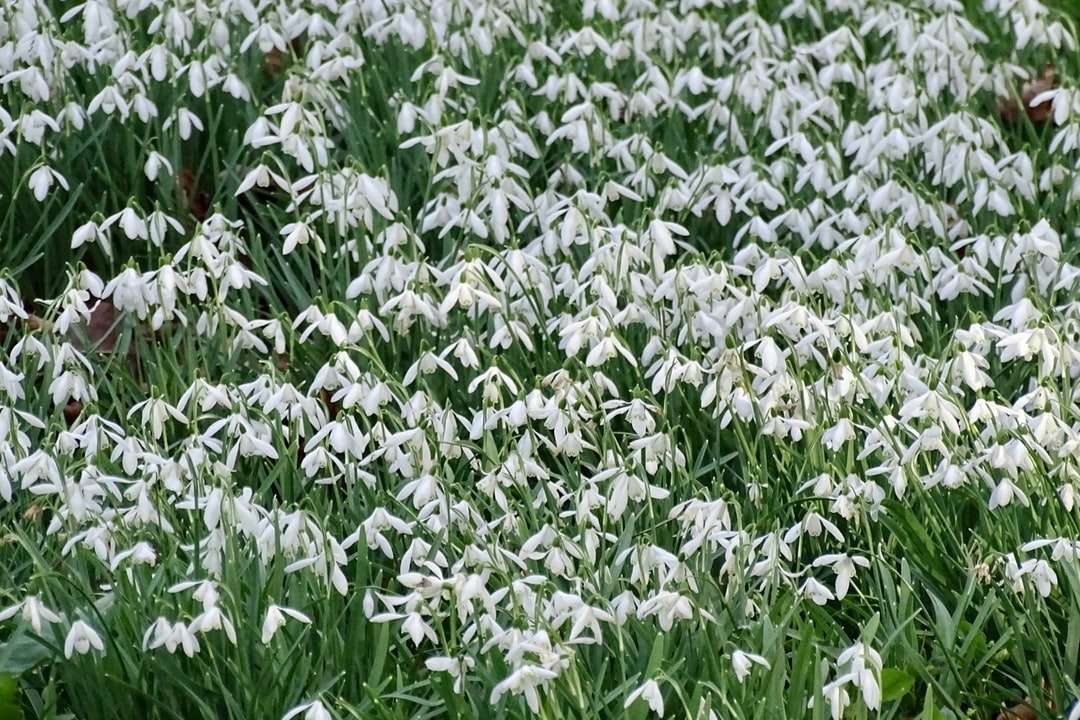 green and white flower field during daytime - A field of snowdrops at Kingston Lacy House and Gardens.  Springtime and how beautiful.  . Pamphill, UK (9×6)