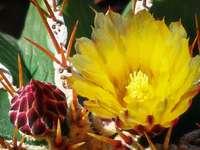 Az arany gömb kaktusz virága