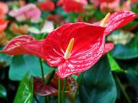 anthurium înflorit