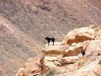 Koza na skalách