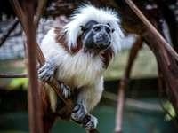 maimuță albă și maro pe ramura de copac maro