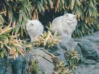 pisică albă de blană lungă pe stâncă gri