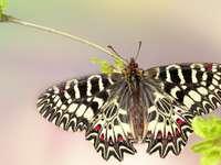 Butterfly, Zigzag beetle