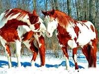 pinto lovak