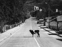 Labrador retriever negro caminando por la calle