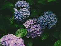 blue and white hydrangeas in bloom close up photo