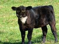 El gato-becerro.