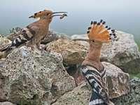 Δύο hoopoes στο φυσικό τοπίο της Ουγγαρίας