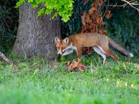Fuchs in Ungarns Natur