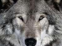 lobo misterioso pela névoa