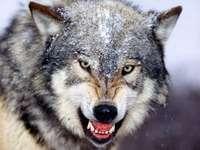 див вълк