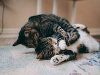 fekete-fehér cirmos cica feküdt fehér textil