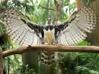 nyitott szárnyú hárpiás sas