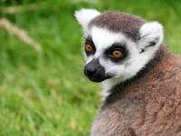 lemur....