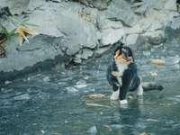 pisică alb-negru care aleargă pe apă