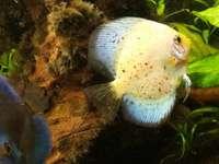 Peixe e disco