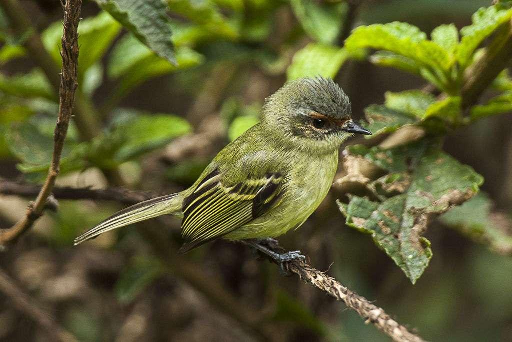 Geheime tirannie - De tirannie [3] (Phylloscartes parkeri) - een soort kleine vogel uit de familie van de vliegenzwam (Pipromorphidae). Het wordt gevonden in Peru, één exemplaar komt uit Bolivia; beschreven in 1997. N (5×4)