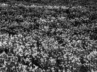 foto em tons de cinza de um campo de flores