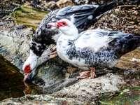 бяла и черна патица върху сива скала