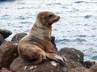 Galapagoska ushanka