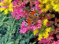 Charme de borboleta