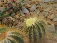 цъфтящ златен топка кактус
