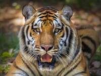 Tygr otevírá ústa