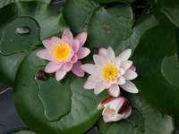 Kwiaty lilii wodnej