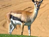 gazela hledá