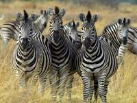 three friendly zebras
