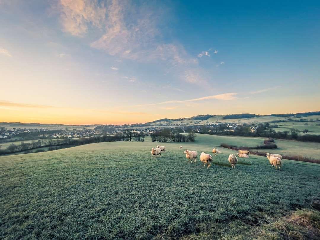 бели и кафяви овце на зелено тревно поле през деня - Овце в поле над Кендал. Кендал, Кендал, Великобритания (2×2)