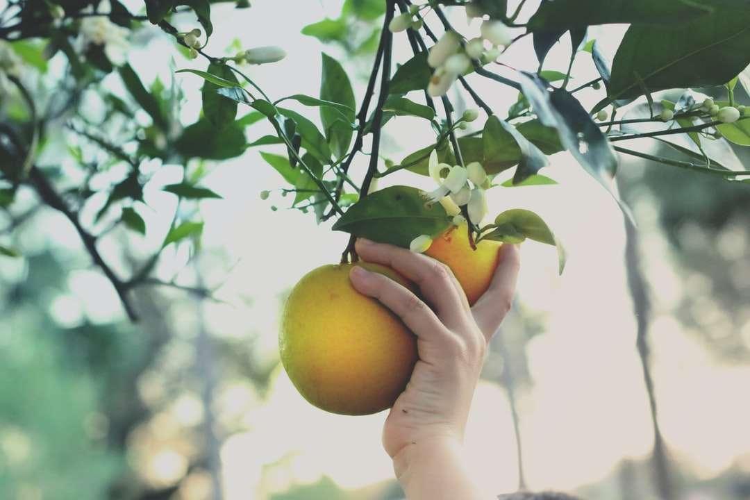 persoon die geel rond fruit houdt - Het kind plukt met de hand sinaasappelen die van bloeiende citrusbomen hangen (7×5)