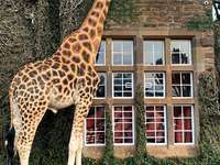 kenya-giraff kom till frukost