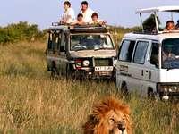 сафари- лъвица в Кения