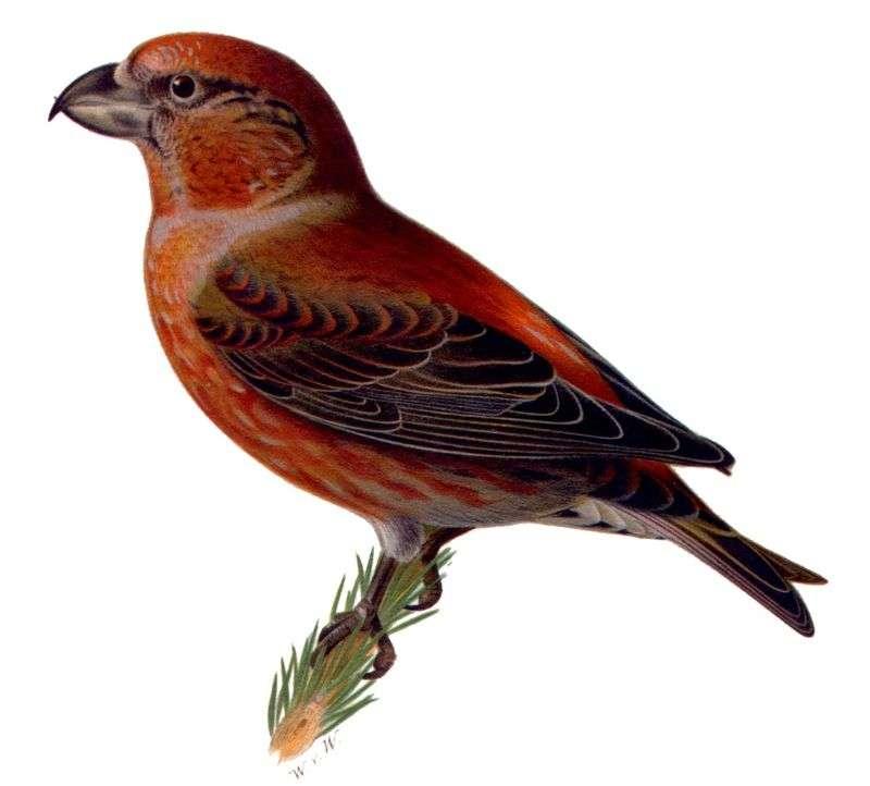 Grenen kruisbek - De Pine Crossbill [3] (Loxia pytyopsittacus) - een soort kleine vogel uit de familie Fringillidae (2×2)