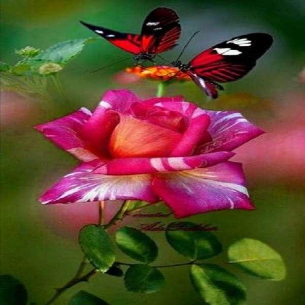 Vlinder - Vlinder aan een mooie roos (13×13)
