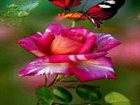 Schmetterling .