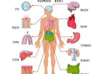 Riccardo menselijk lichaam