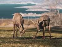 tři hnědé jeleny na zelené louky během dne