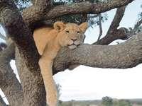 bruine leeuwin op bruine boomtak overdag