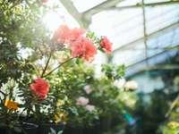 розови цветя със зелени листа