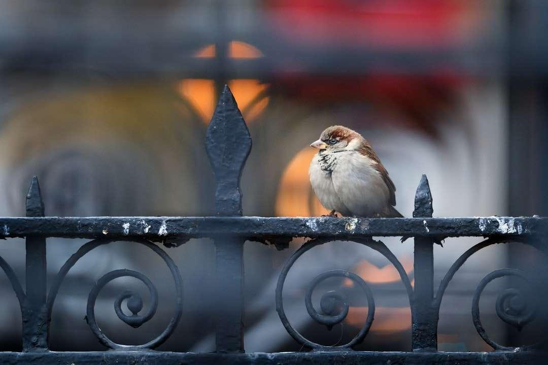 witte en bruine vogel op zwart metalen hek - Ik ging naar het centrum van Philadelphia in de hoop vogels te vangen in een veel meer stedelijke omgeving. Ik had een visie voor een specifiek type schot dat ik niet kon maken, maar toen ik deze same (19×13)