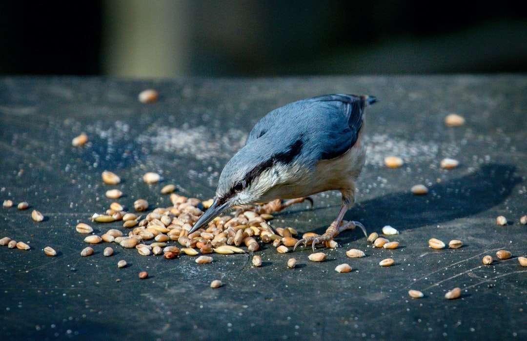 blauwe en witte vogel op bruine en zwarte kiezelstenen - Een boomklever op het natuurpad van Stover. Stover Trail, Teigngrace, Newton Abbot, VK (9×6)