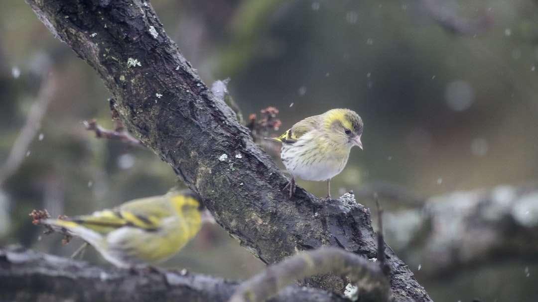 gele vogel op bruine boomtak - Euraziatische sijs (Spinus spinus) (Čížek lesní). Okres Šumperk, Česko (16×9)