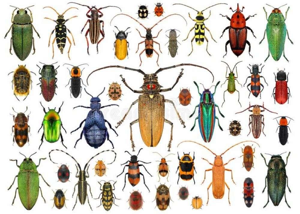 Coleoptera - Denna grupp och den mest diversifierade bland insekterna, cirka tre tusen arter som redan beskrivits av vetenskapen (12×9)
