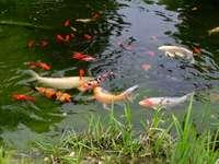 Kois en el estanque del jardín