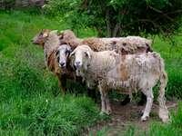 2 πρόβατα φαίνονται περίεργα