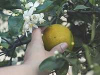 geel citroenfruit aan de kant van de persoon