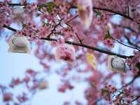 rosa Kirschblüte in voller Blüte während des Tages